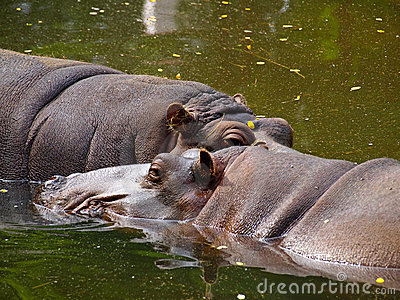 Two hippopotamus