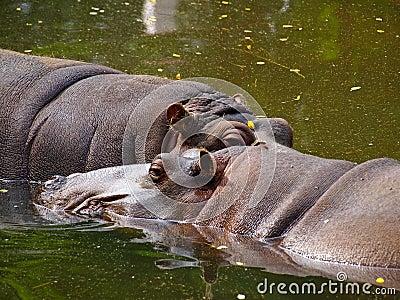 Two hippopotamus
