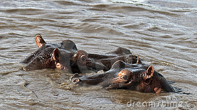 Two hippos are in the river
