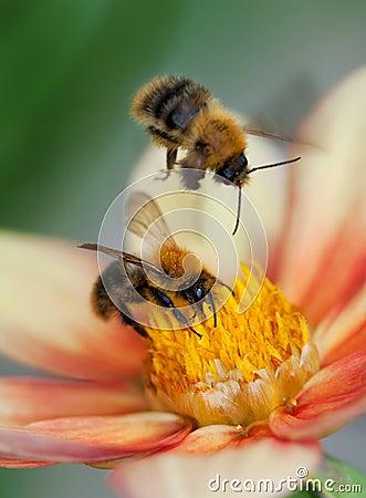 Free Two Honey Bees On Dahlia Flower Royalty Free Stock Photos - 27164908