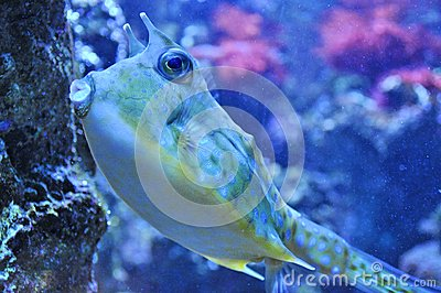 Two Horned Cow fish
