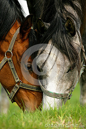 Free Two Horses Grazing In A Pasture Stock Photography - 41261562