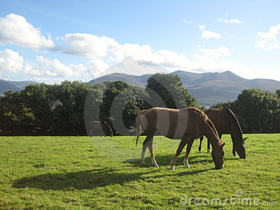 Two horses grazing in Killarney, Ireland