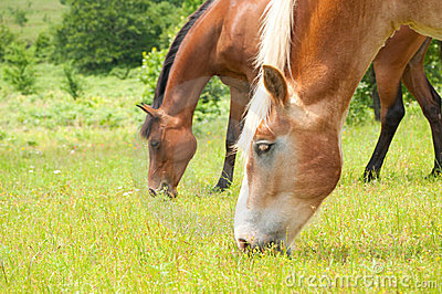 Two horses grazing in a lush pasture