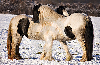 Two Horses keeping warm in the cold winter snow