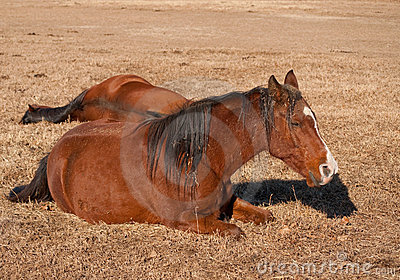 Two horses lying down, taking their afternoon nap