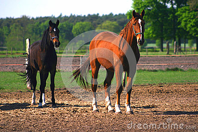 Two horses mare and stallion