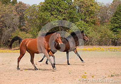 Two horses racing in the pasture