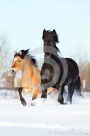 Two horses runs in winter