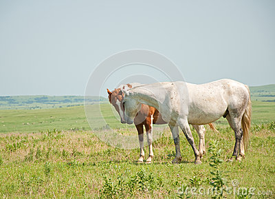 Two horses sniffing noses in a prairie pasture