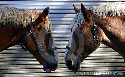 Two Horses Talking Head-to-Head