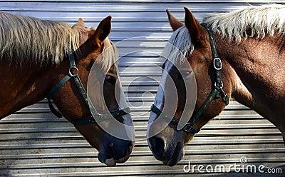 Two Horses Talking Head-to-Head