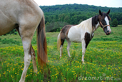 Two horses in a Tennessee meadow