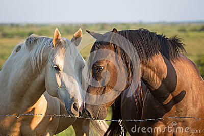 Two horses touch noses