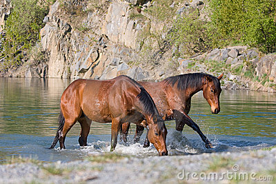 Two horses in the water