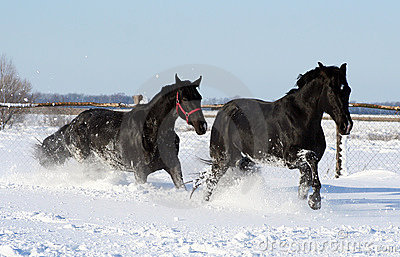 Two horses in the white snow