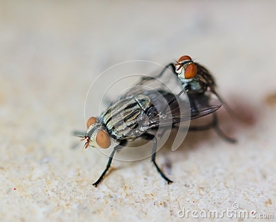 Two Housefly Mating