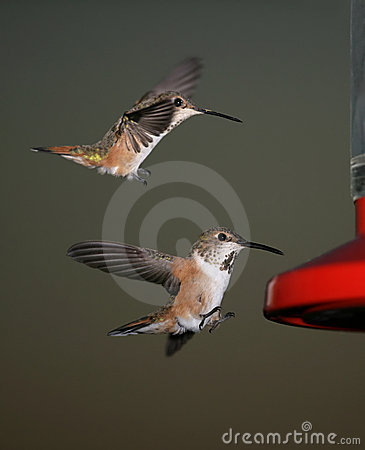 Free Two Hummingbirds Royalty Free Stock Photo - 4796025