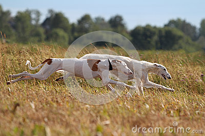 Two hunting dogs run