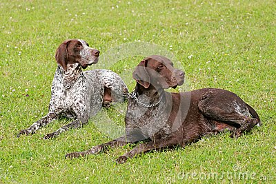 Two hunting setters