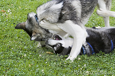 Two Huskies playing