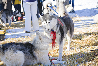 Two husky dogs playing together outdoors
