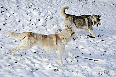 Two husky dogs running