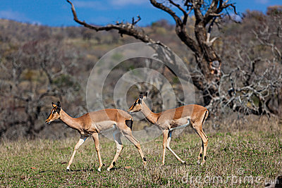 Two Impala Buck Wildlife