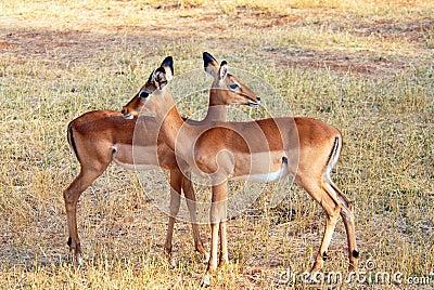 Two Impalas