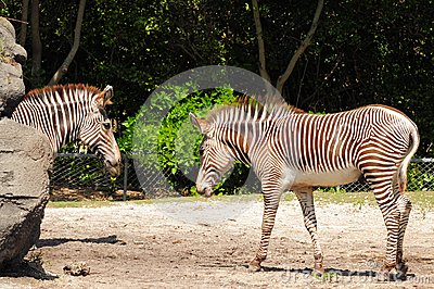 Two imperial zebras