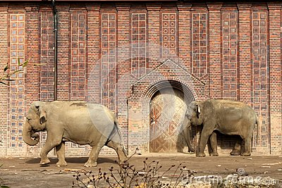 Two Indian elephants against the wall