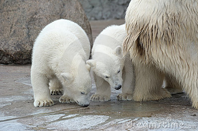 Two inquisitive polar bears
