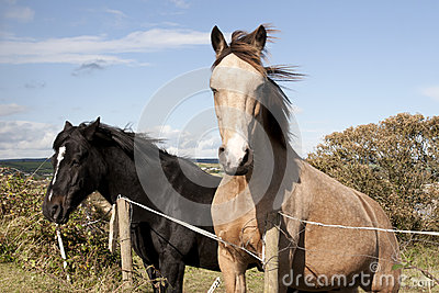 Two Irish horses