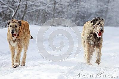 Two Irish wolfhound dog