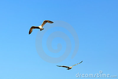 Two isolated seagulls