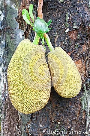 Two jack fruit on tree