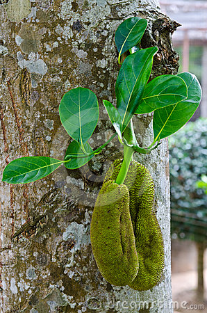 Two jackfruits with green leaf