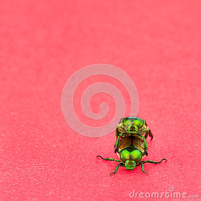 Free Two Japanese Beetles Mating Stock Photos - 32896173