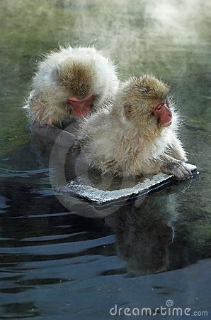 Two Japanese Macaque monkeys in hot springs