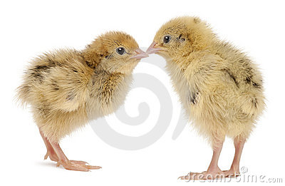 Two Japanese Quail, also known as Coturnix