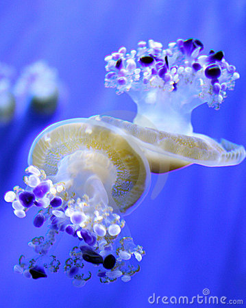 Two jellyfishes