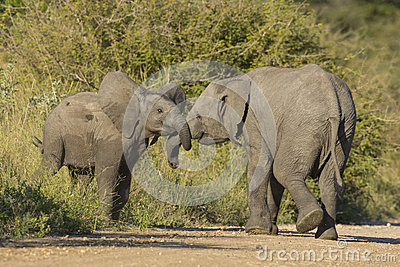 Juvenile African Elephant On The Masai Mra Stock Photo, Royalty ...