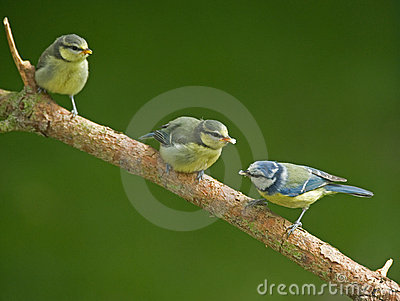 Two juvenile Blue Tits and mother bird.