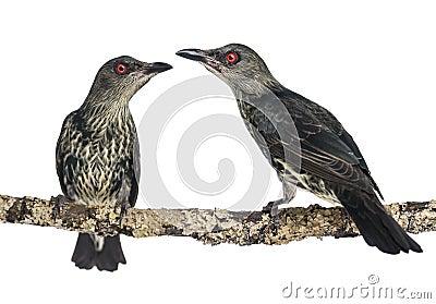 Two Juveniles Metallic Starling - Aplonis metallica