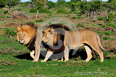 Two Kalahari lions, Panthera leo