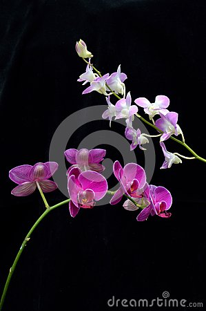 Two kind of orchid flower (Phalaenopsis amabilis)