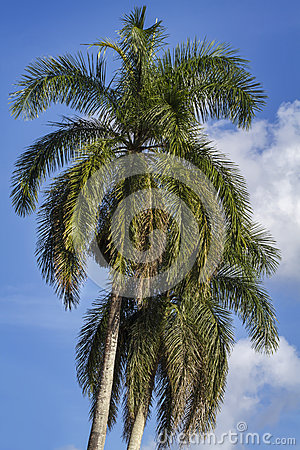 Two king palm trees