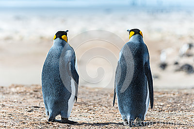Two KIng penguins. Sight from the back