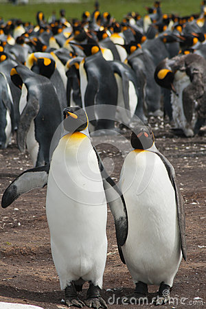 Two king penguins stays