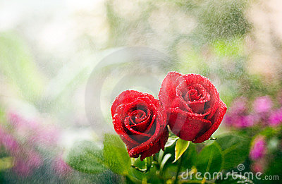 Two kissing roses